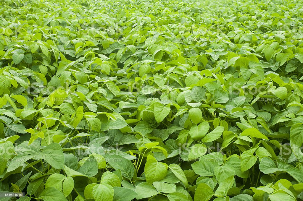Agricultural crops-soybean field royalty-free stock photo