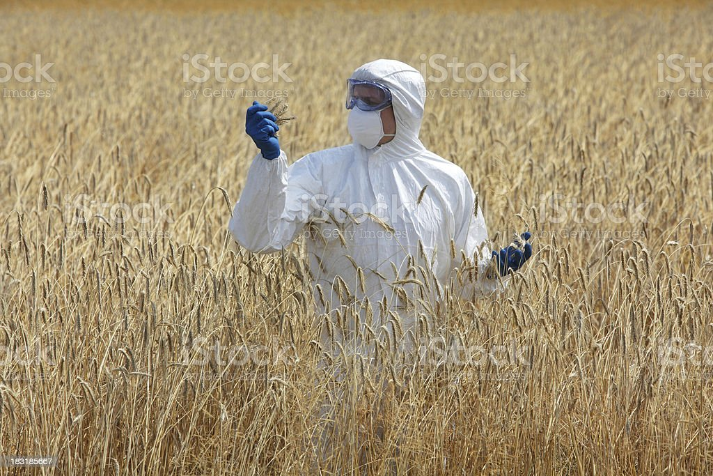 agricultural engineer on field examining ripe ears of grain stock photo