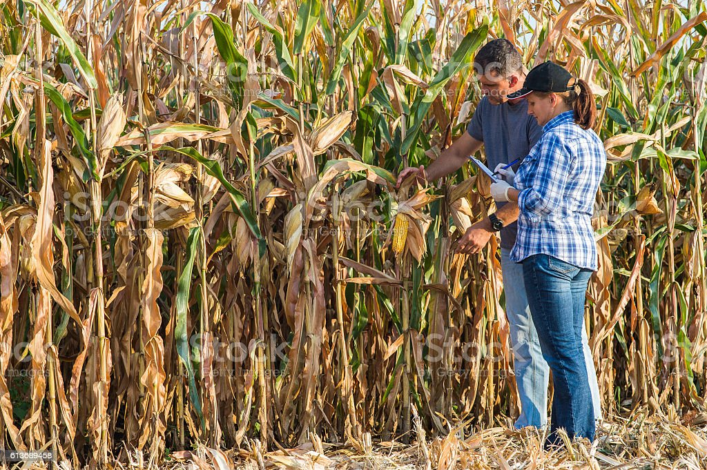 Agricultural expert inspecting quality of corn stock photo