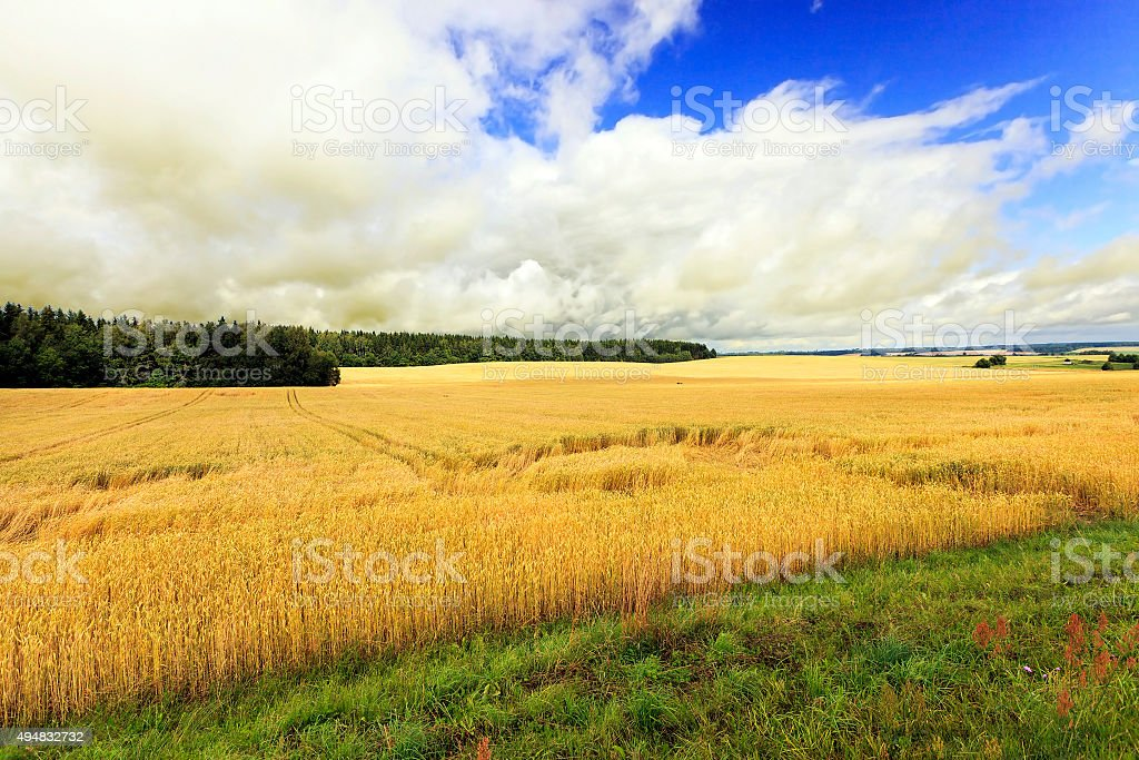 Agricultural field . cereals stock photo