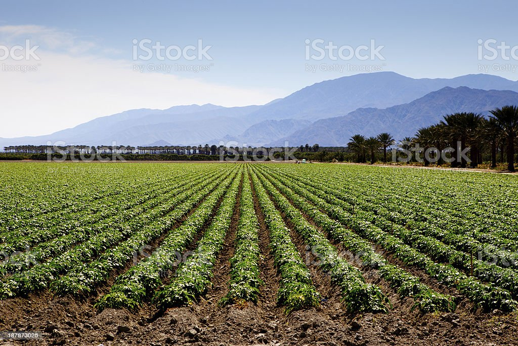 Agricultural field growing crops stock photo