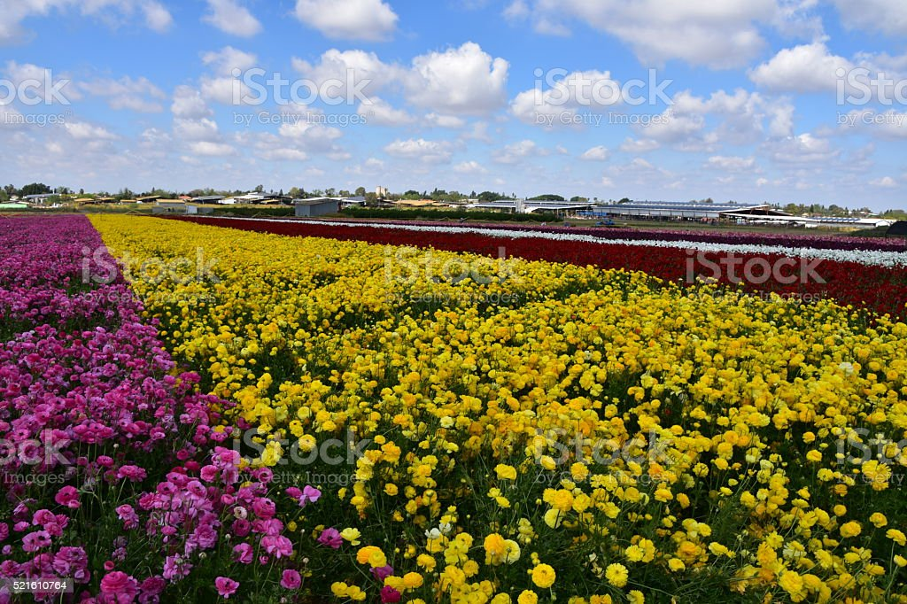 Agricultural field of flowers stock photo