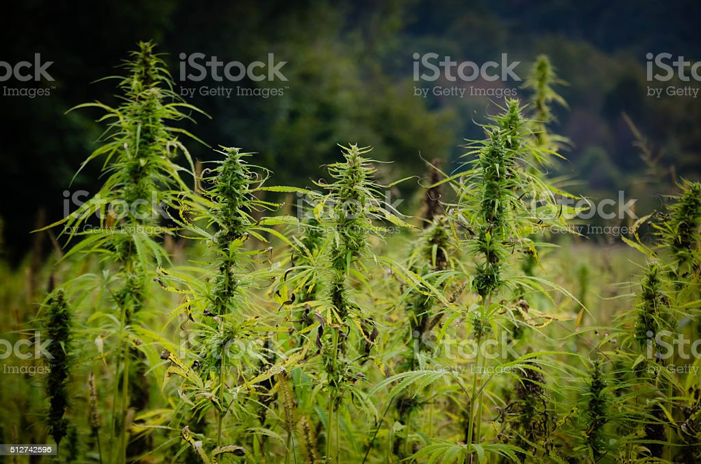 Agricultural field of industrial hemp stock photo