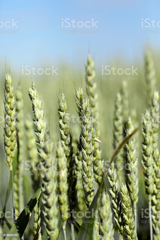 agricultural field wheat stock photo