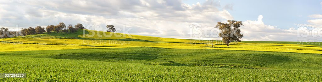 Agricultural fields of canola and pastures in springtime stock photo