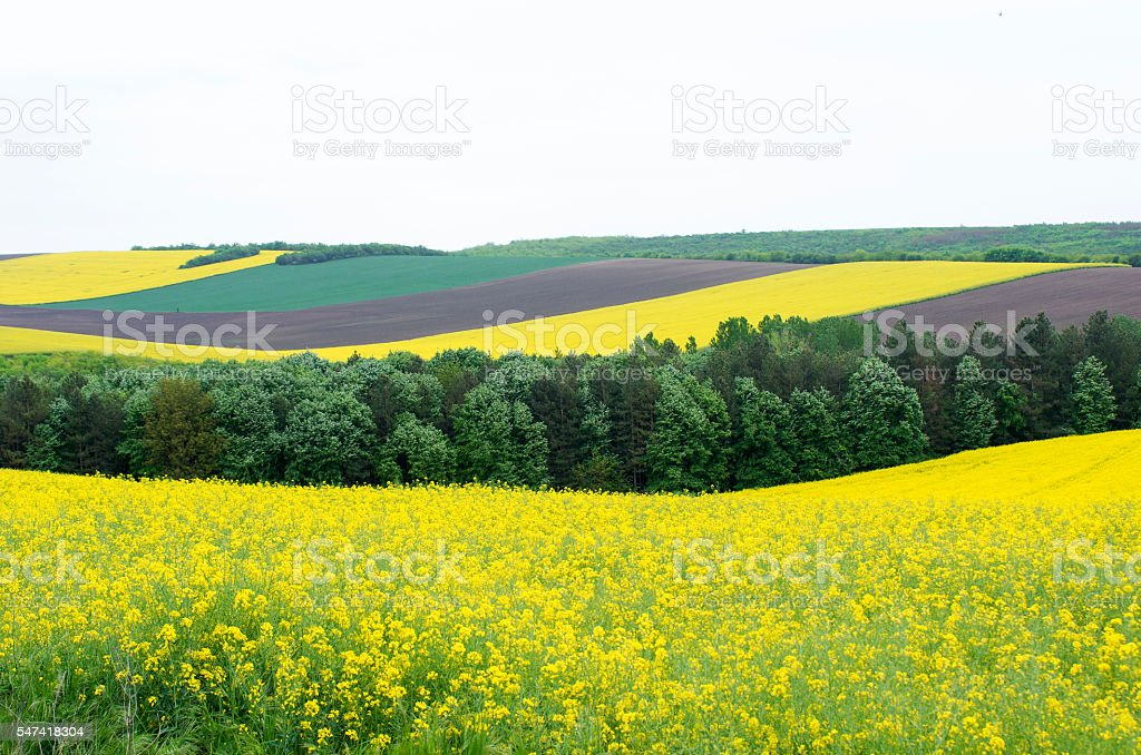 Agricultural fields sown with cereals. stock photo