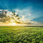 agricultural green field and sunset in clouds