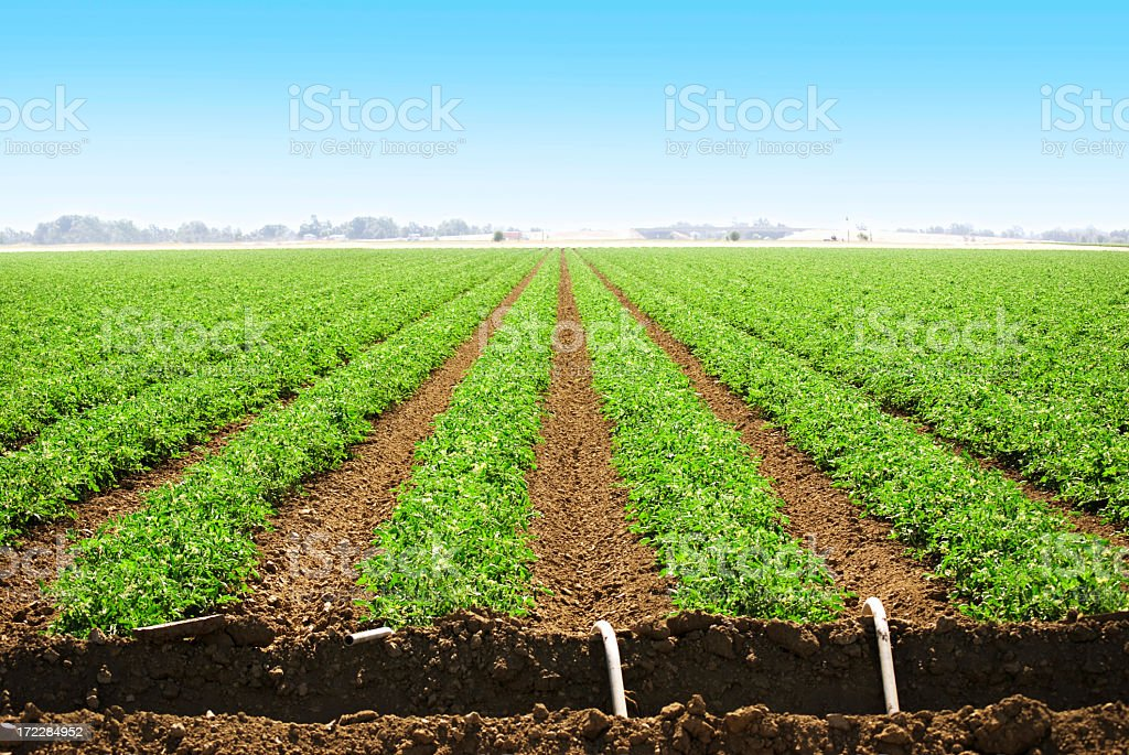 Agricultural land with row crops royalty-free stock photo