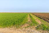 Agricultural landsaple, arable crop field.