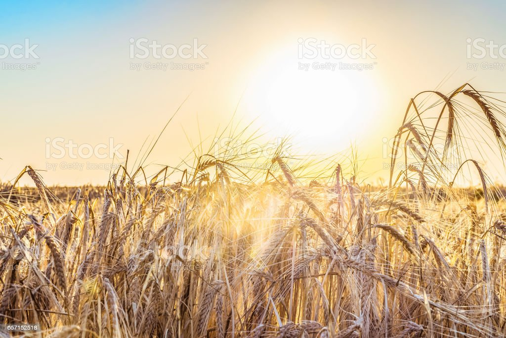 Agricultural natural background with ripe spikelets of rye in the rays low sun backlight stock photo