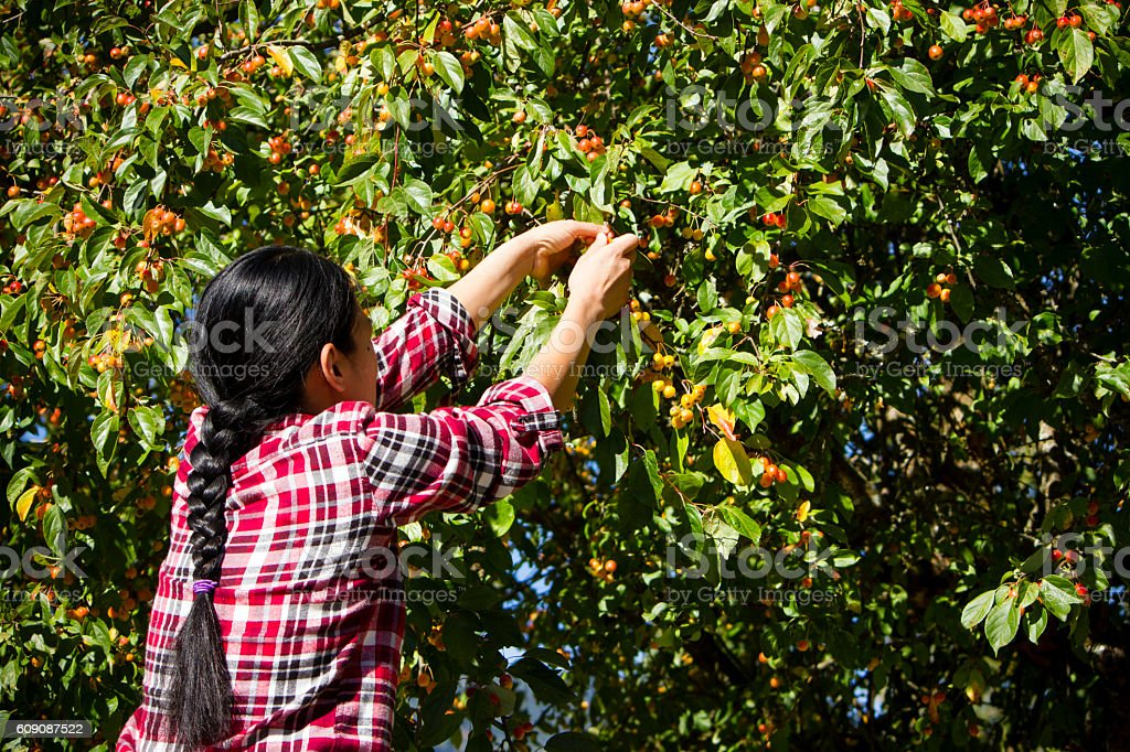 Agricultural Occupation Harvesting Crabapple stock photo