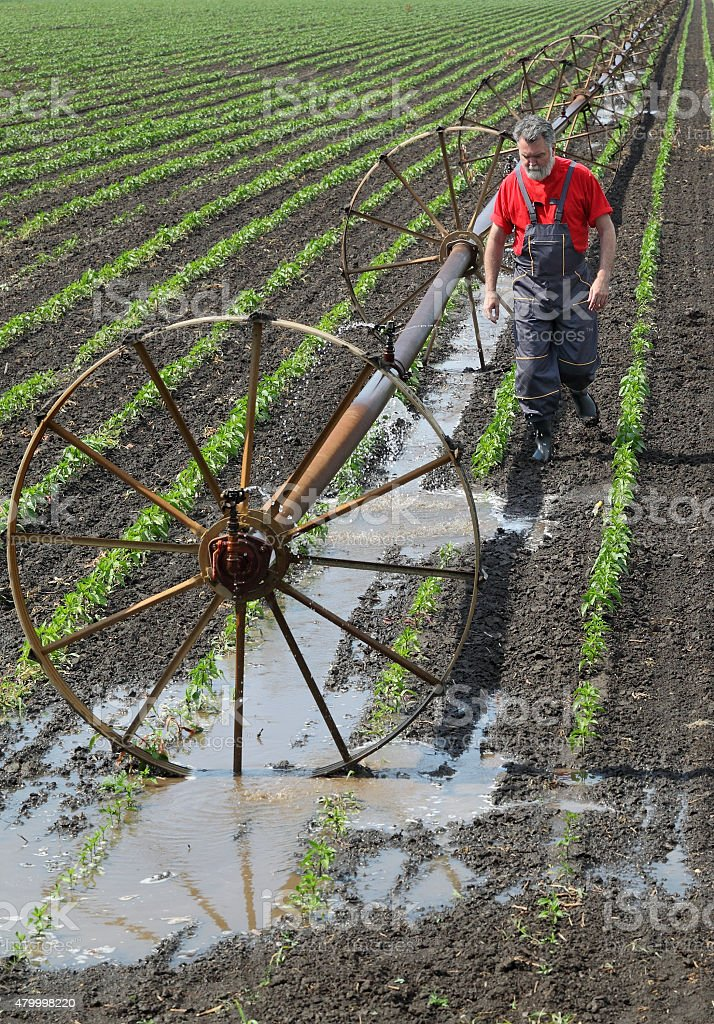 Agricultural scene, farmer in paprika field with watering system stock photo