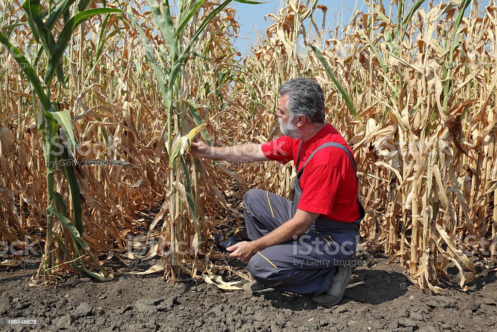 Agricultural scene, farmer or agronomist inspect corn field stock photo