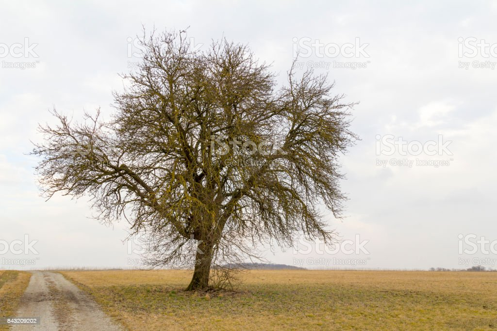 agricultural  scenery with lonely tree stock photo