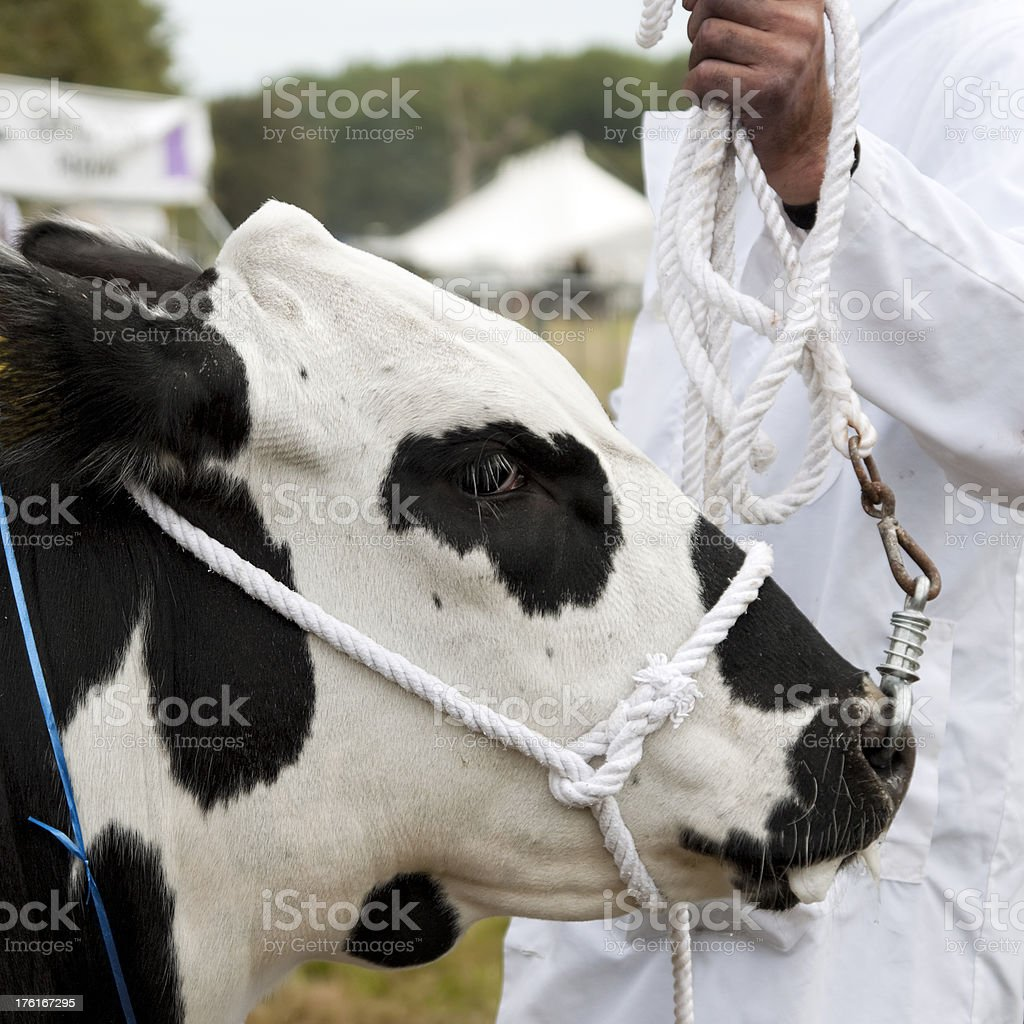 Agricultural Show - Leading a bull by the nose royalty-free stock photo