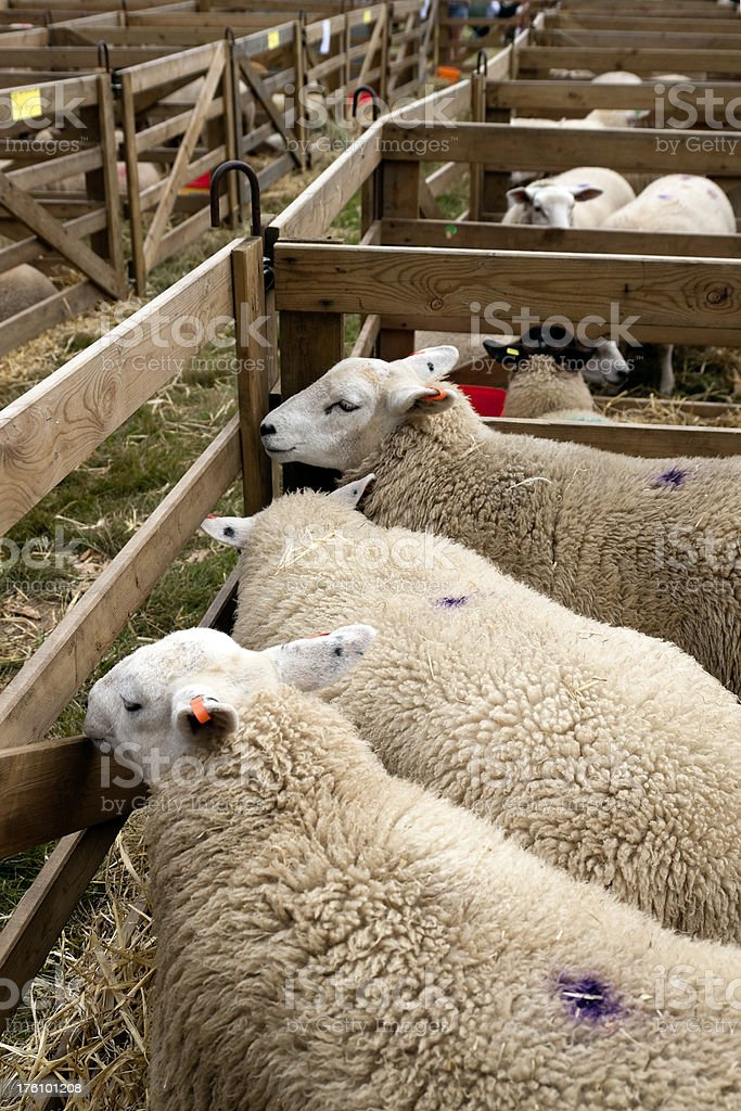 Agricultural Show - Sheep looking out of a pen royalty-free stock photo