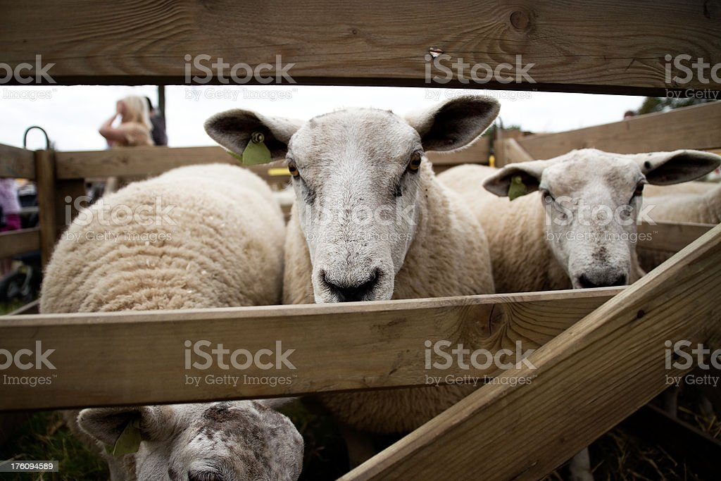 Agricultural Show - Sheep peeping through a fence royalty-free stock photo