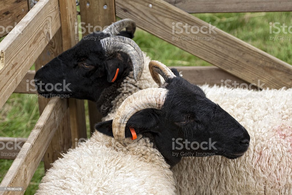 Agricultural Show - Two horned sheep stock photo