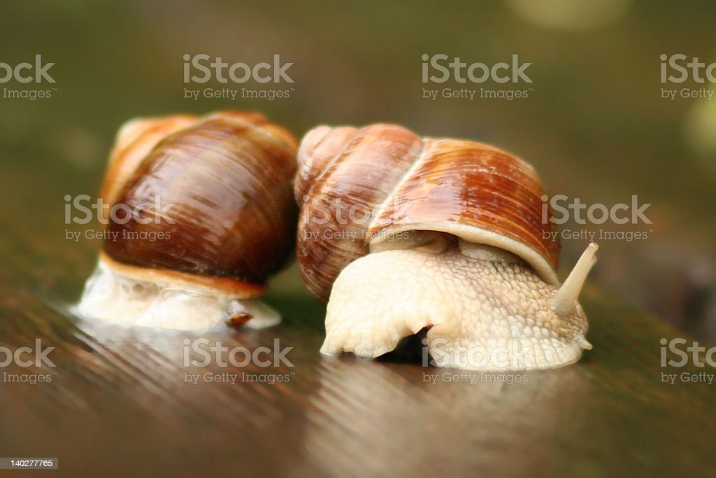 'Agricultural snails' royalty-free stock photo