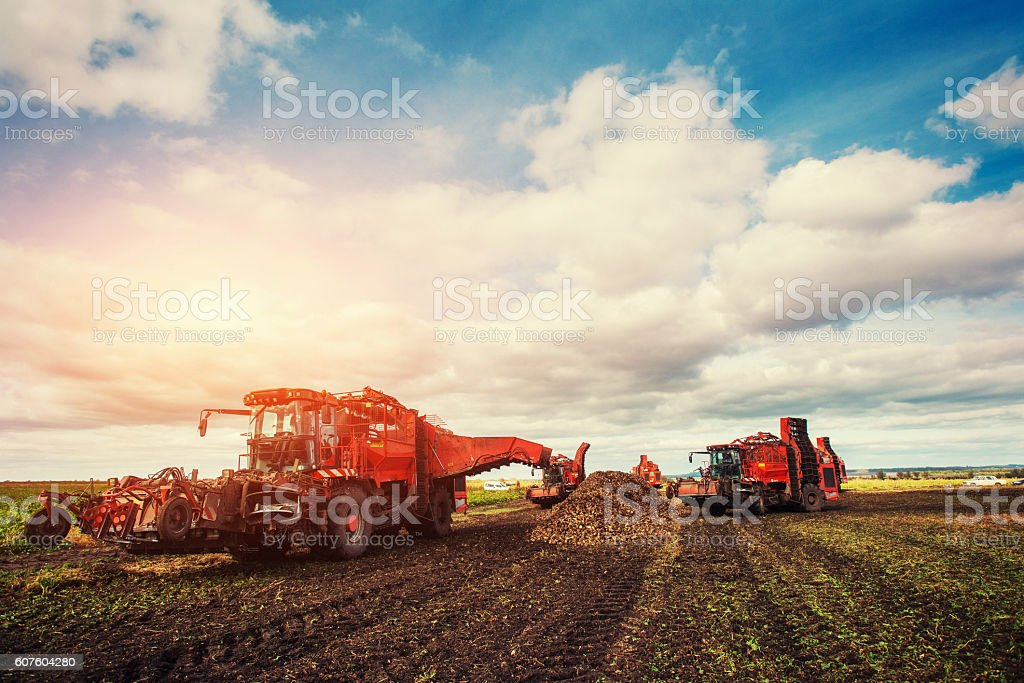Agricultural vehicle harvesting sugar beets stock photo