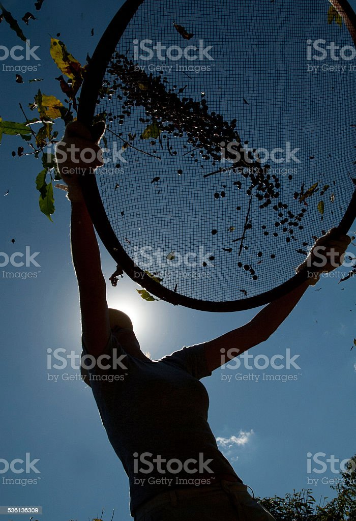 agricultural worker picking coffee stock photo