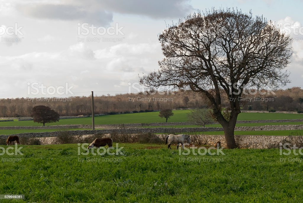 Agriculture and breeding of Puglia. stock photo