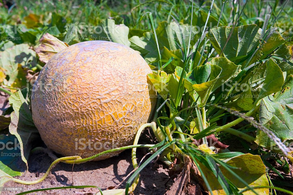 Agriculture: cantaloupe on the vine stock photo