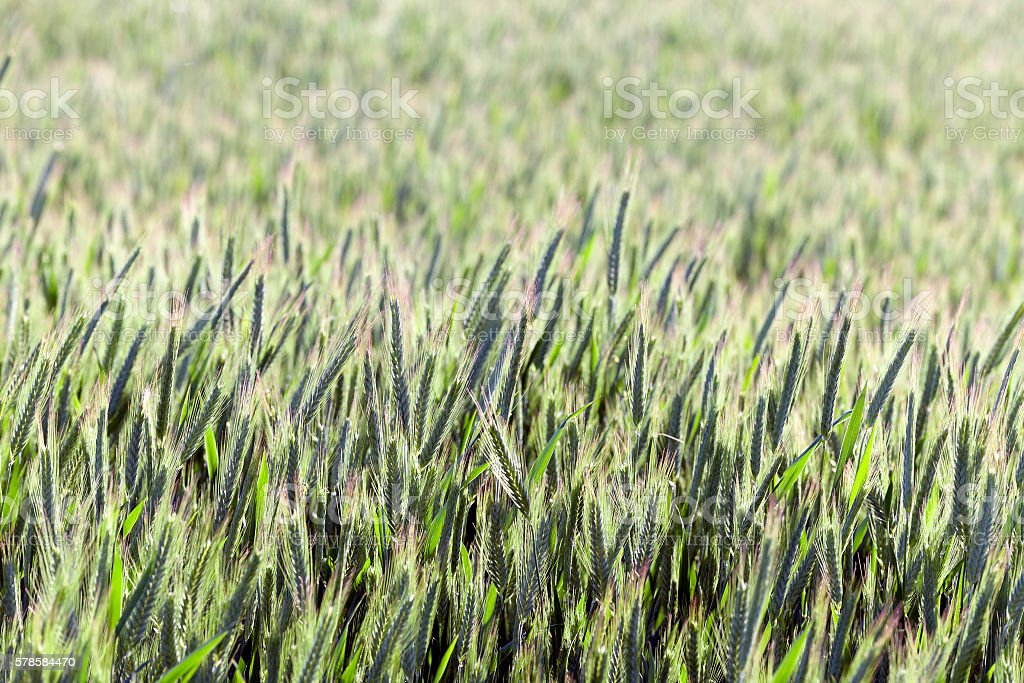 Agriculture. cereals. Spring stock photo