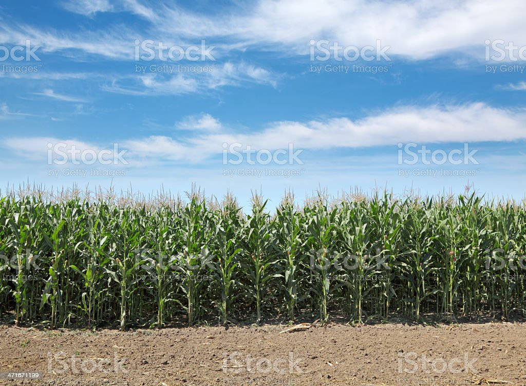 Agriculture, corn field royalty-free stock photo