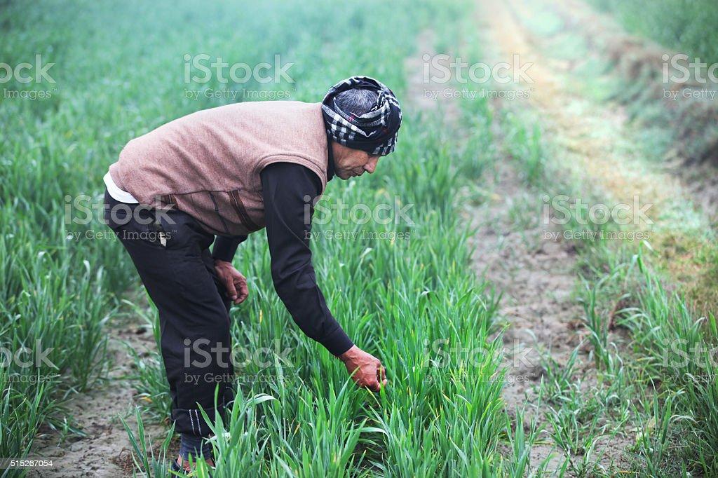 Agriculture, farmer examine wheat field stock photo