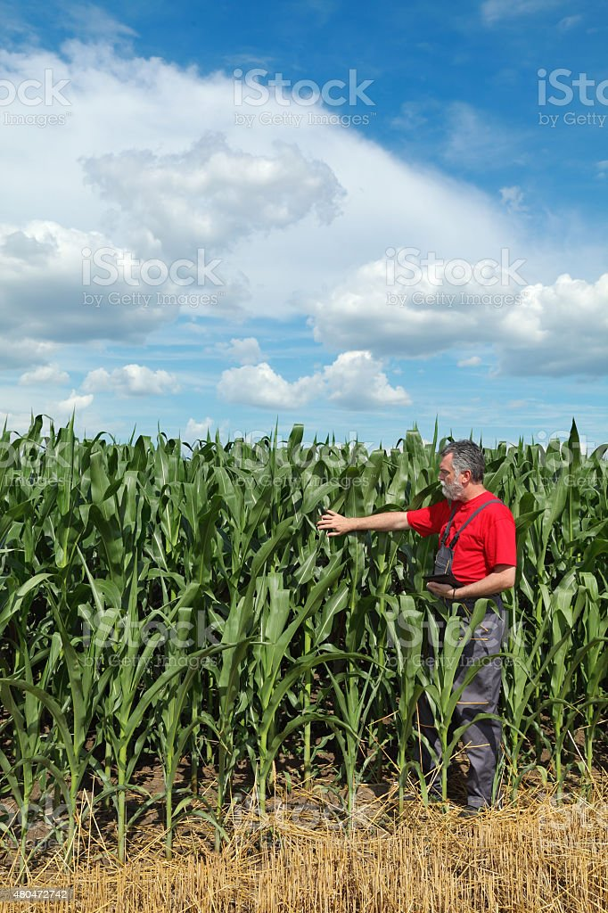 Agriculture, farmer in corn field stock photo