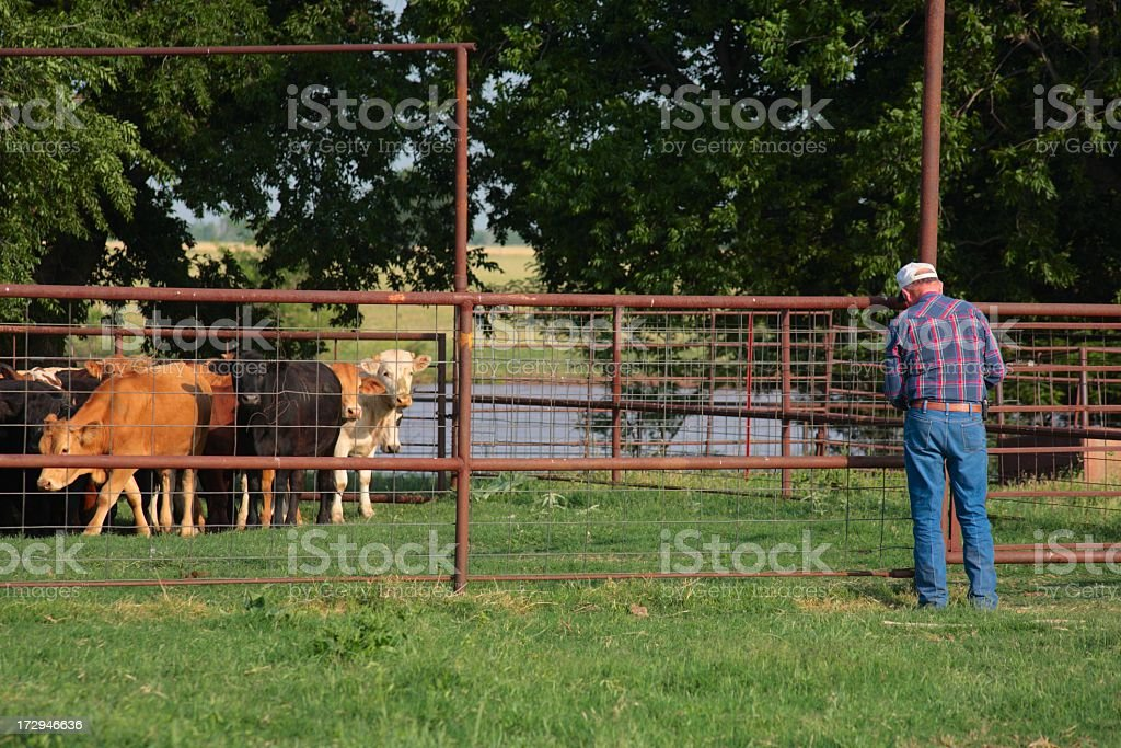 Agriculture: farmer or rancher Closing the Gate to cattle pen stock photo