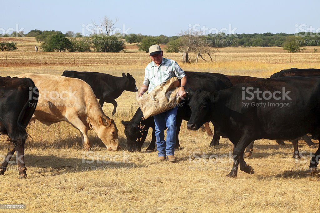 Agriculture: Farmer or rancher Feeding Cattle During Drought stock photo