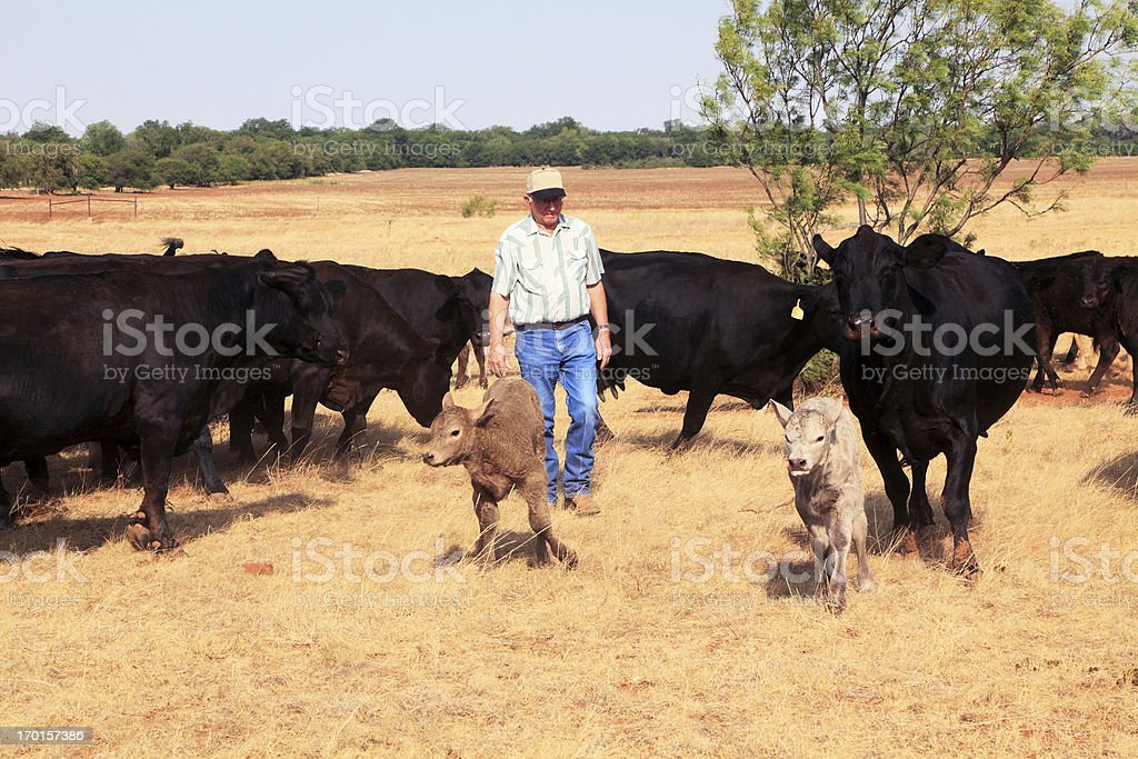 Agriculture: Farmer or rancher with Cattle and Drought royalty-free stock photo