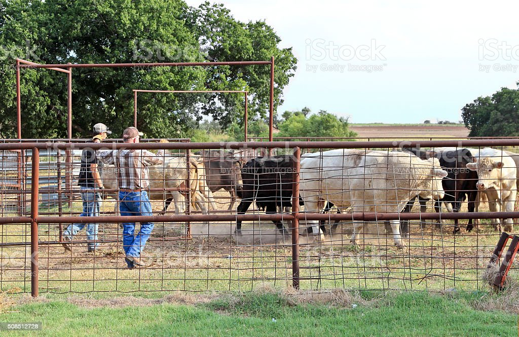 Agriculture: Farmer rancher in a corral with cattle stock photo