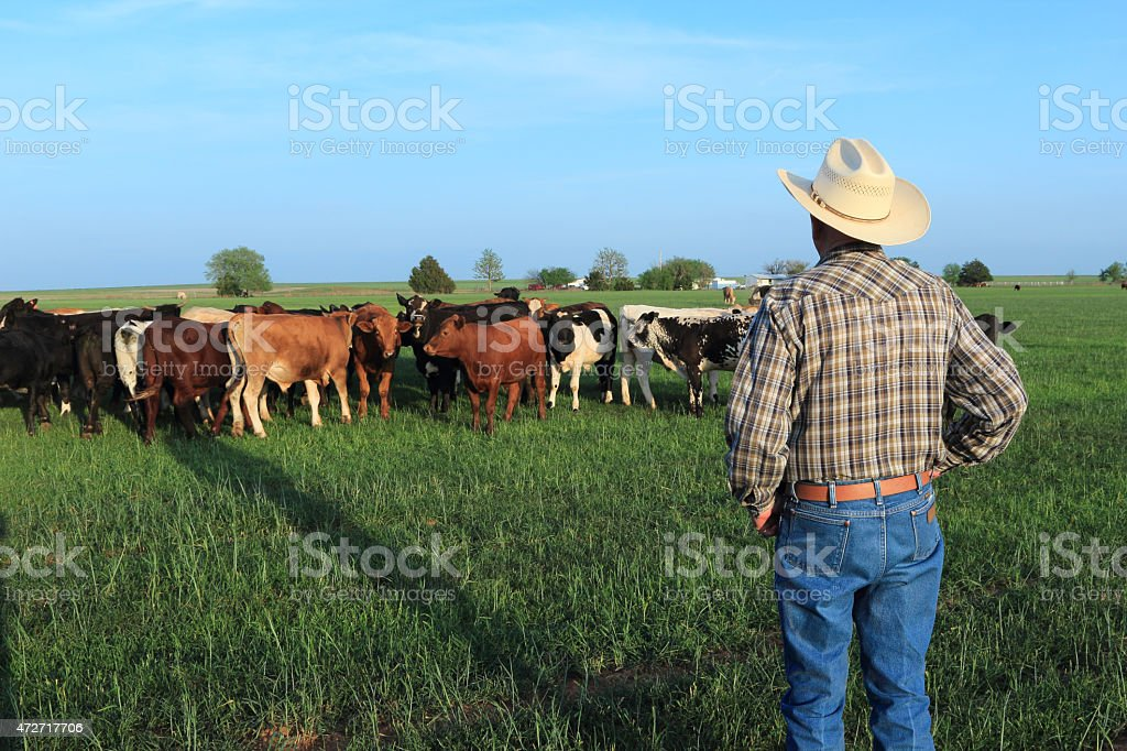 Agriculture: Farmer Rancher with Mixed Breed Cattle in a Field stock photo