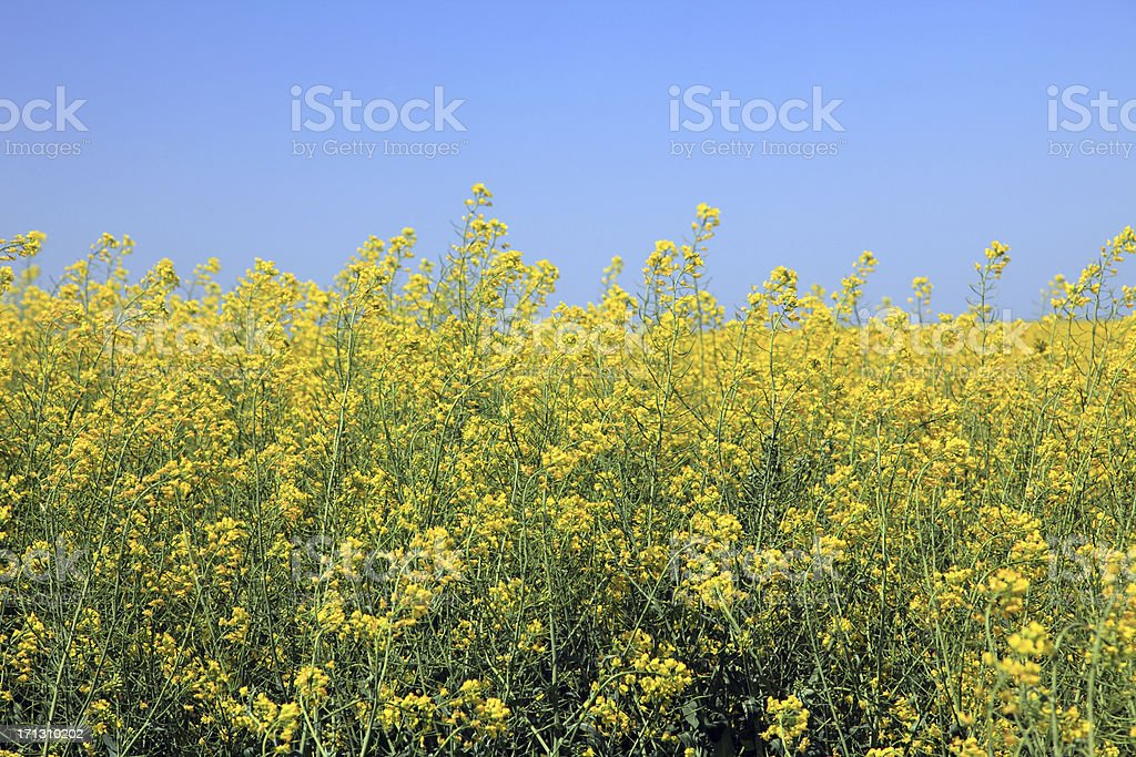 Agriculture: Field of Canola in Bloom against blue sky royalty-free stock photo