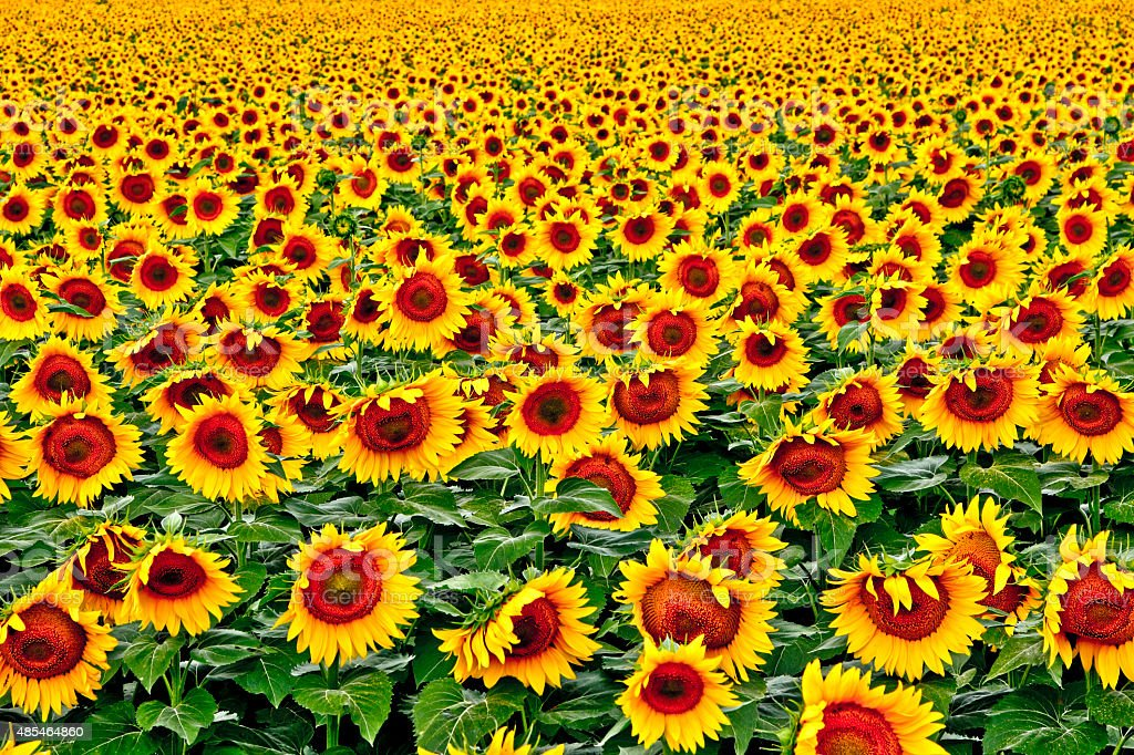 Agriculture: Field or crop of large sunflowers facing the sun stock photo