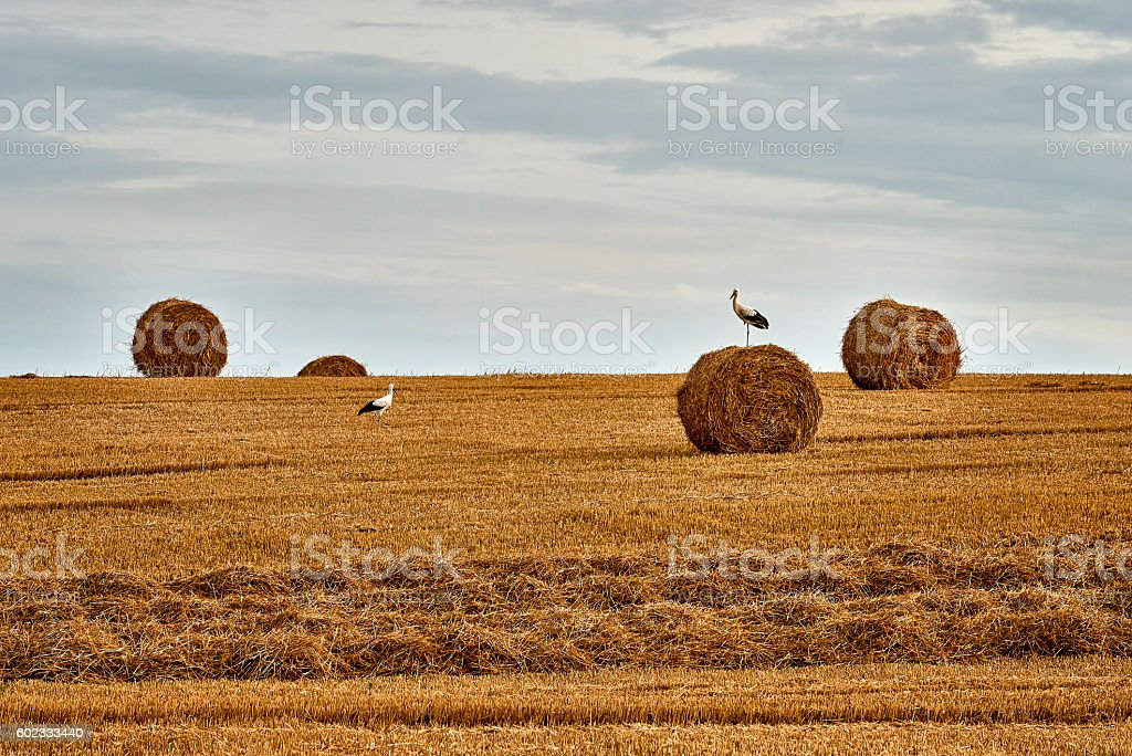 Agriculture , field with straw bales after harvest.nature stock photo