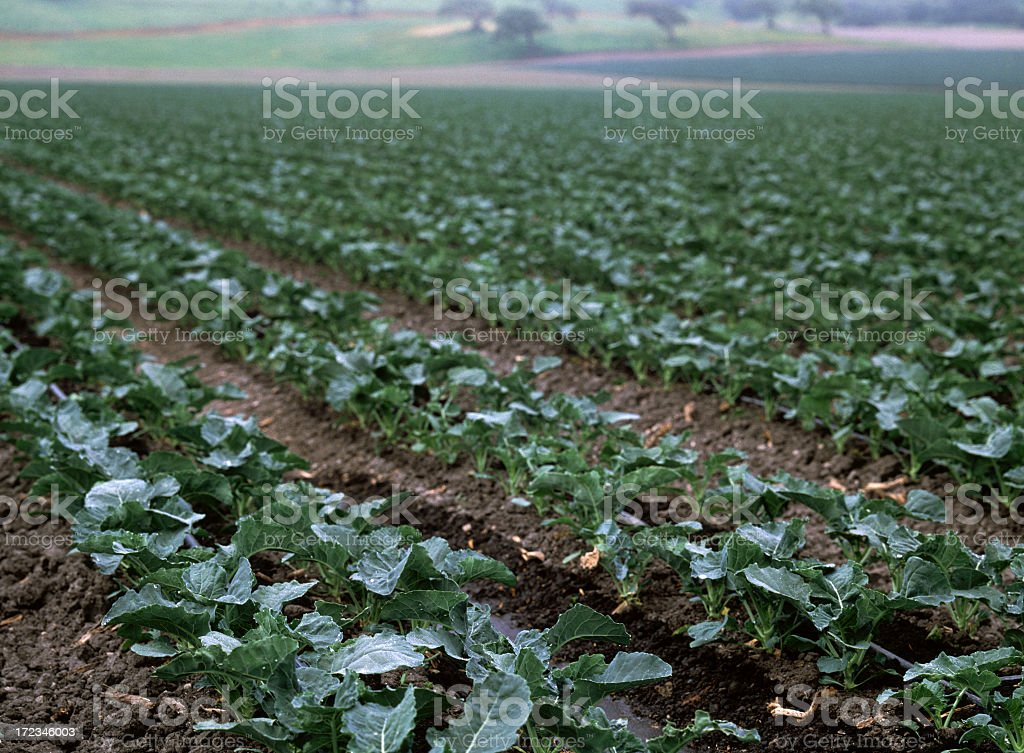 Agriculture Fields, Santa Maria, California royalty-free stock photo