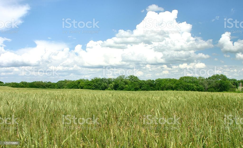 Agriculture: green Wheat field and Sky with clouds royalty-free stock photo
