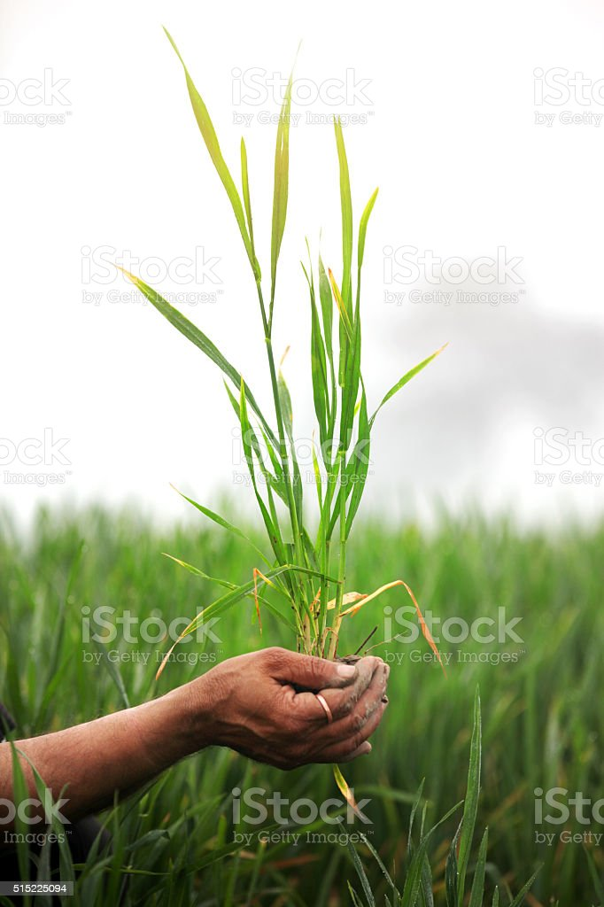 Agriculture, Holding Wheat Plant stock photo