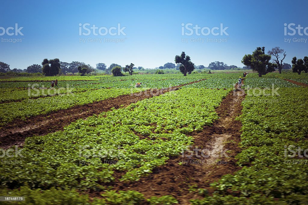 Agriculture in Africa royalty-free stock photo