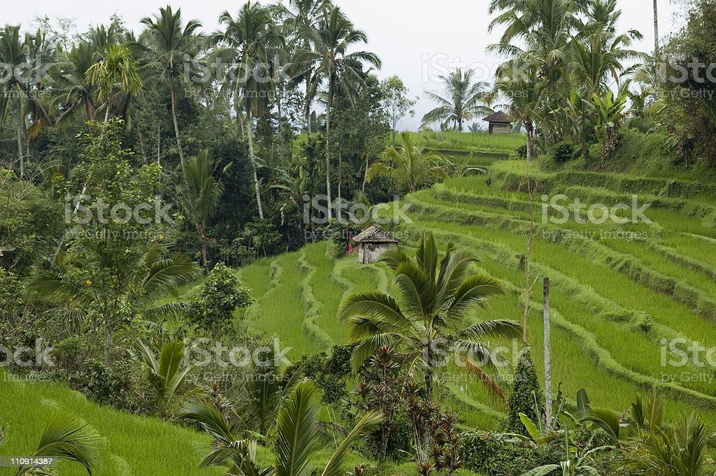 Agriculture in Asia royalty-free stock photo