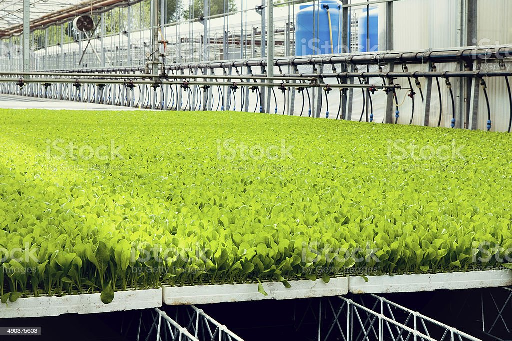 agriculture in greenhouse royalty-free stock photo