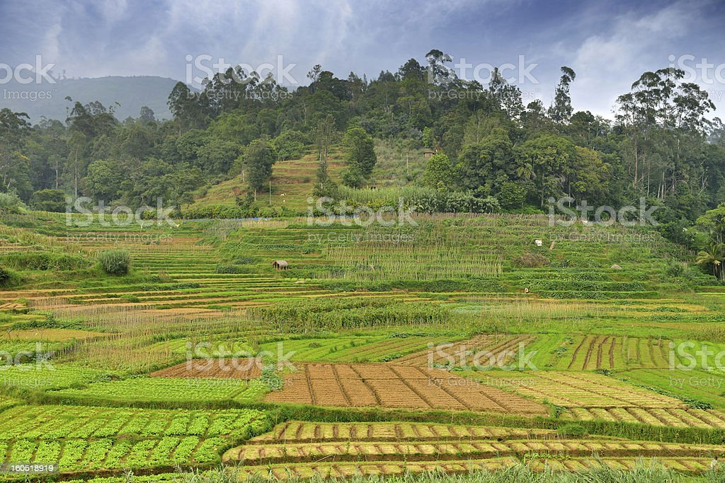 Agriculture in the tropics royalty-free stock photo
