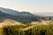 Agriculture Irrigation Sprinkler Okanagan Vineyard