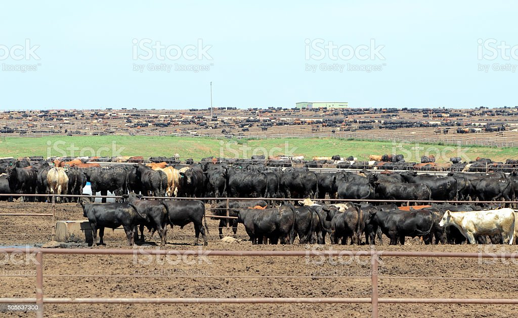 Agriculture: Large number of cattle feeding in a feedlot stock photo