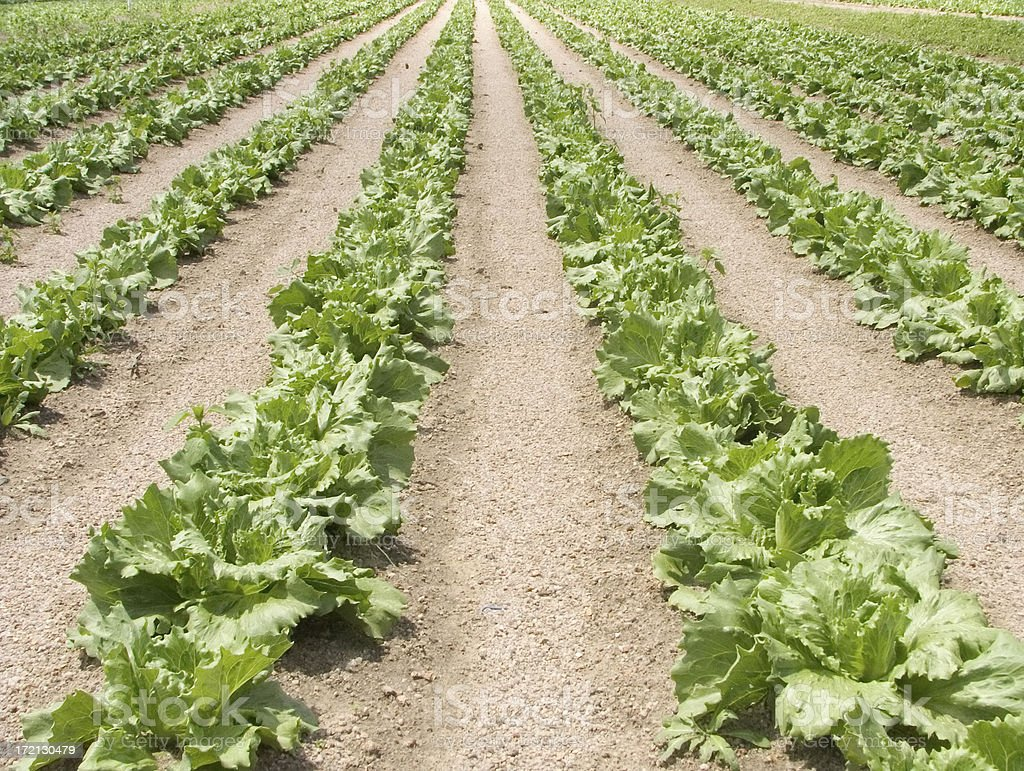 agriculture: lettuce production royalty-free stock photo