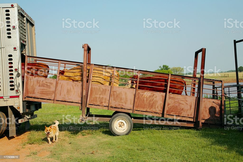 Agriculture: Loading Cattle from corral to truck stock photo